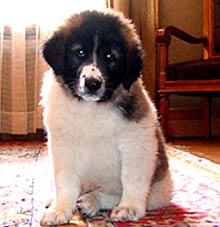 Bulgarian Shepard Dog to be Patented