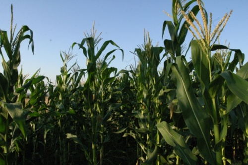 Schmeiser: GMOs Threaten Bulgaria Organic Farmers, Decrease Yields: GMOs Threaten Bulgaria Organic Farmers, Decrease Yields