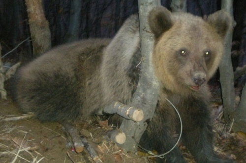 Bulgaria: Bulgaria Police Save Trapped Bear from Poachers