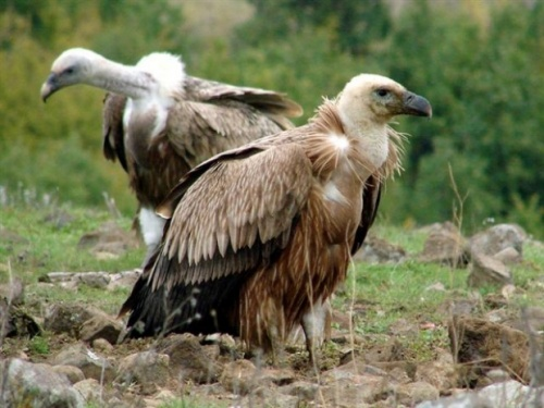 Bulgaria to Import Vultures from Spain for Rila, Pirin Mountains: Bulgaria to Import Vultures from Spain for Rila, Pirin Mountains