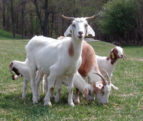 Bulgaria: Killer Goat Flu Appears in Netherlands