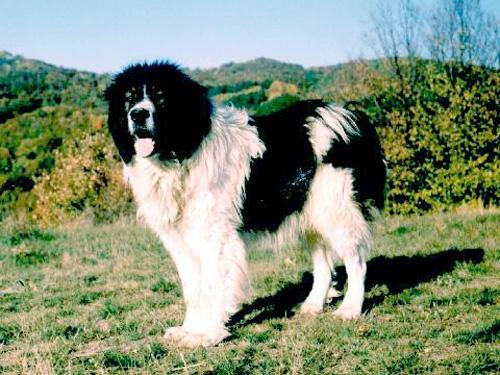 Bulgaria: Bulgaria PM Parades Karakachan Shepherd Dogs