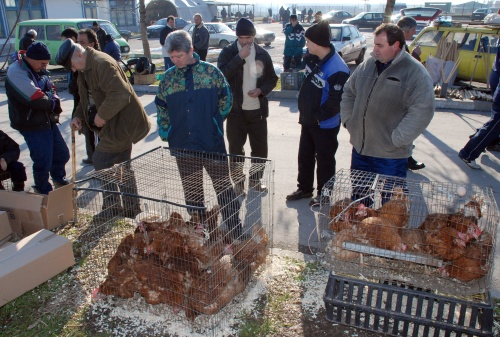 Bulgaria Silistra Bans Bird Markets over Avian Flu Alert: Bulgaria Silistra Bans Bird Markets over Avian Flu Alert