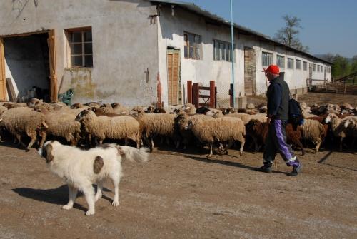 Bulgaria: Bulgarian Farmers Hope to Export Sheep Milk to China, Saudi Arabia