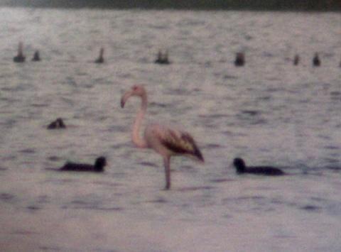 Bulgaria: Pink Flamingo Spotted near Bulgaria's Burgas