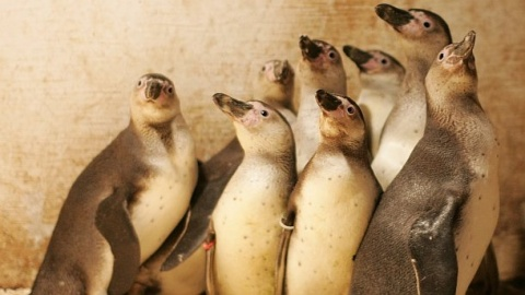 Humboldt Penguins Feel at Home in Sofia's Zoo: Humboldt Penguins Feel at Home in Sofia's Zoo