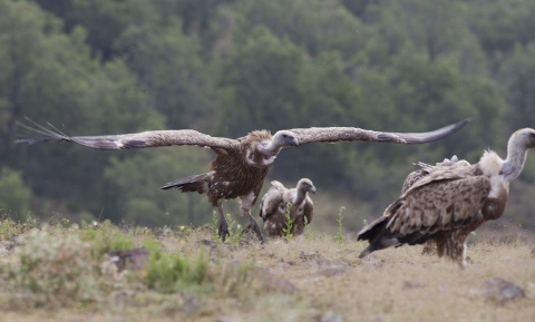 Bulgaria: Efforts to Resettle Griffon, Egyptian Vultures in Bulgaria Bear Fruit