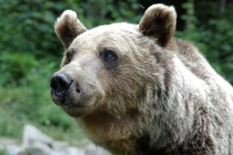 Bulgaria: Bulgarian State Sentenced to Hefty Compensation for Killer Bear Victim