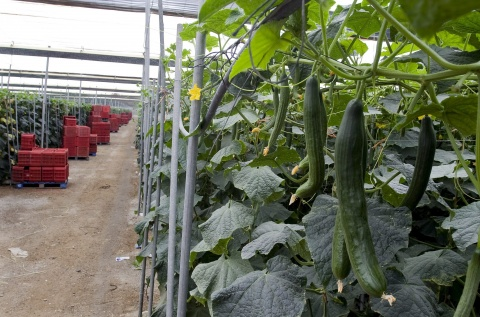 Bulgaria: Agriculture Minister: No Contagious Cucumbers in Bulgaria