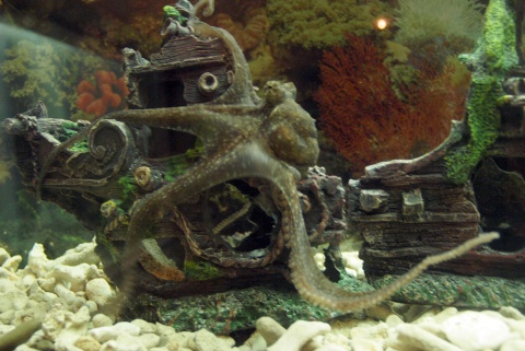 Bulgaria: Bulgarias Varna Aquarium Names 1st Octopus after Indian ...