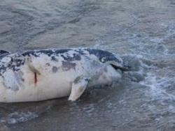 Bulgaria: 3rd Dead Dolphin Washed Ashore on Bulgarian Black Sea Coast