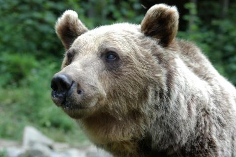 Bulgaria: Bulgarian Town Besieged by Brown Bear