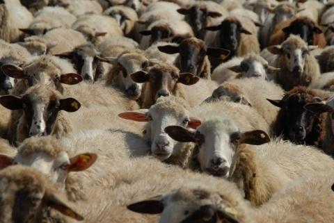 Bulgaria: Thieves Lift Flock of Sheep in Bulgaria
