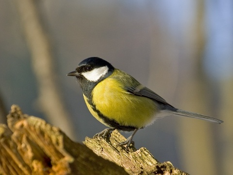 Bulgaria: Great Tit Picked as Bird Symbol of Sofia