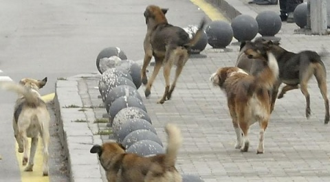 Bulgaria: Sofia Deputy Mayor Ready to Resign over Stray Dogs Outrage