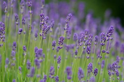 Bulgaria: Bulgaria Tops Lavender Oil Production Ranking
