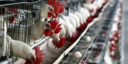 Bulgaria: Bulgarian State to Aid Chicken, Pig Breeders