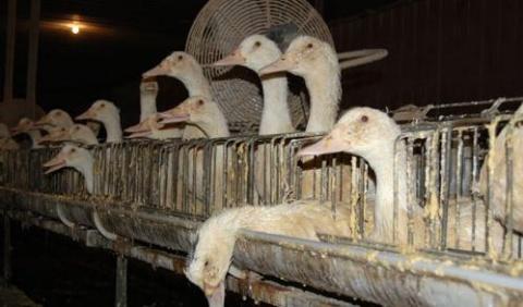 Bulgaria: Bulgaria Worried by Bid to Ban Foie Gras in EU