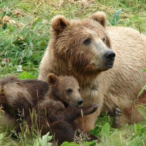 Bulgaria: Bulgaria Bans Bear-Hunting Again, Pressed by EU, Greenies
