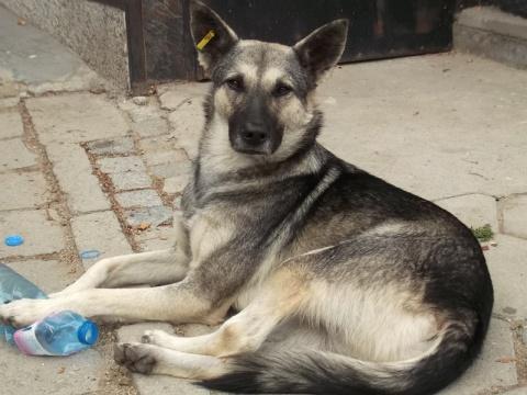 Bulgaria: Sofia's Stray Dogs Decline to 6 635