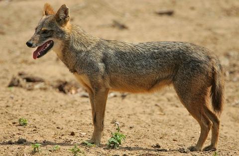 Bulgaria: Hunters Kill 30 Wolves, 200 Jackals in Bulgaria's Burgas Region