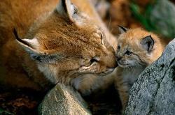 Bulgaria: Wild Lynx Makes Comeback to Bulgaria