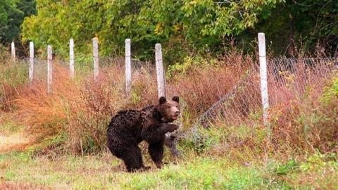 Bulgaria: Bear Attack on Livestock Registered in Bulgaria