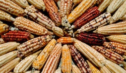 Bulgaria: 12 Member States Oppose GM Maize Crops in EU