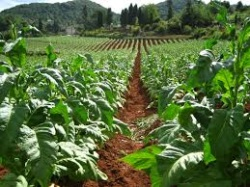 Bulgaria: Bulgaria's Agriculture Minstry to Launch Tobacco Producers Register