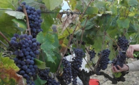 Bulgaria: Bulgarian Chardonnay, Cabernet Most Preferred At Vinaria