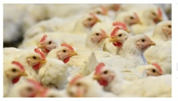 Bulgaria: Kuwait Bans Live Birds, Eggs Imports from Bulgaria over Flu Suggestions