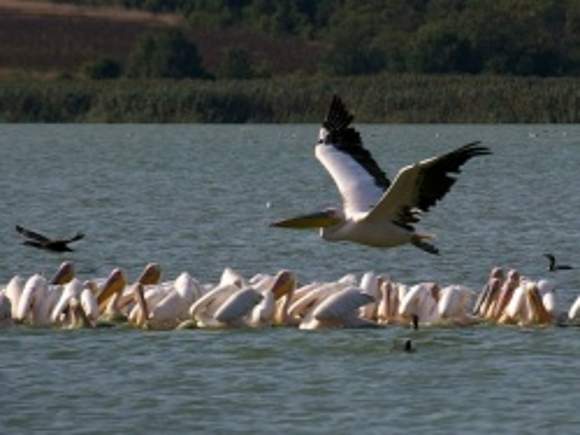 21 Pelicans Found Dead at Bulgaria's Srebarna Nature Reserve
