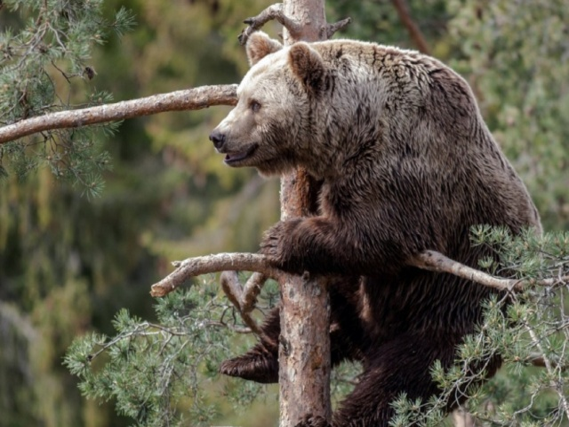 Bulgaria: Tsvetan The Bear is not Feeling Sleepy