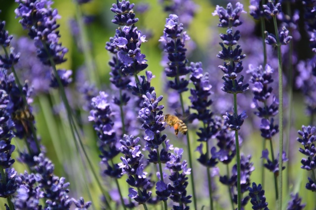 Bulgaria: Bulgaria is Again the World's First Producer of Lavender Oil