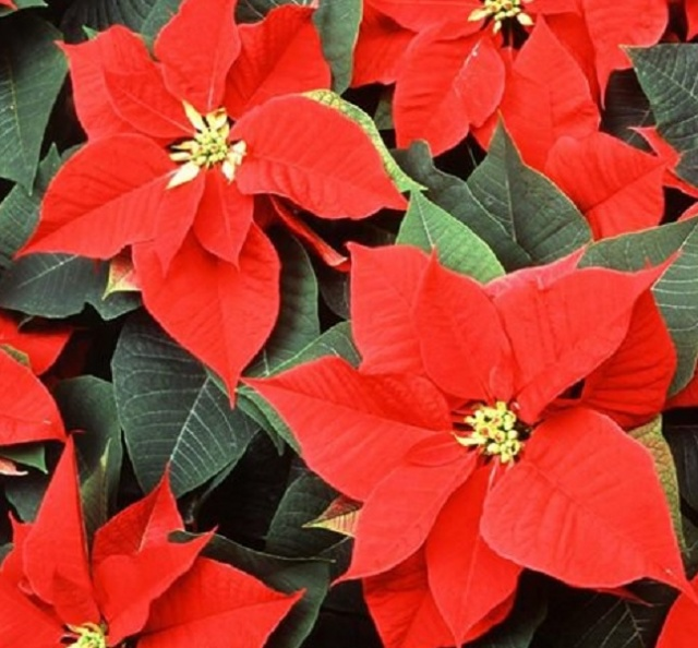 Bulgaria: Mexico is Preparing to Export Millions of Flowers for Christmas