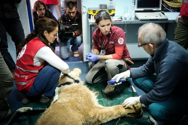 "Bulgaria: ""Four Paws"" Organization Transports a Pregnant Lioness from Razgrad to Sofia"