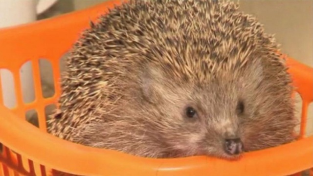 Bulgaria: Hedgehogs were put on Diet in an Israeli Zoo