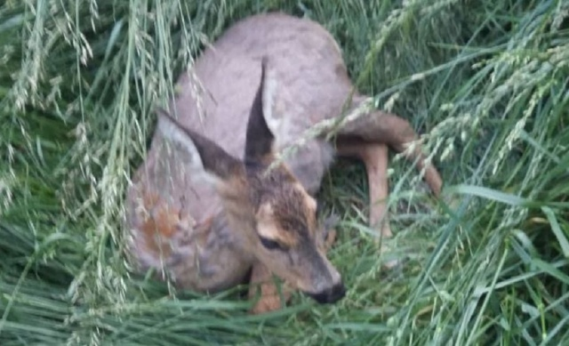 Bulgaria: People from Smolyan Take Care for a Wounded Deer Staying between Residential Buildings