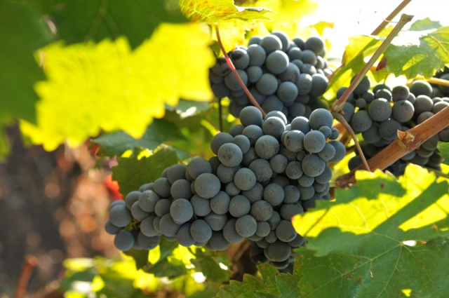 Bulgaria: Bulgaria will have Good Grape Harvest if Weather Remains Hot