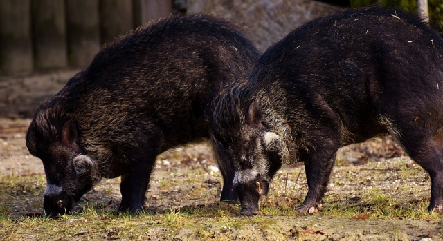 Bulgaria: African Swine Fever Reaches Western Europe in Blow to EU Pork Exports