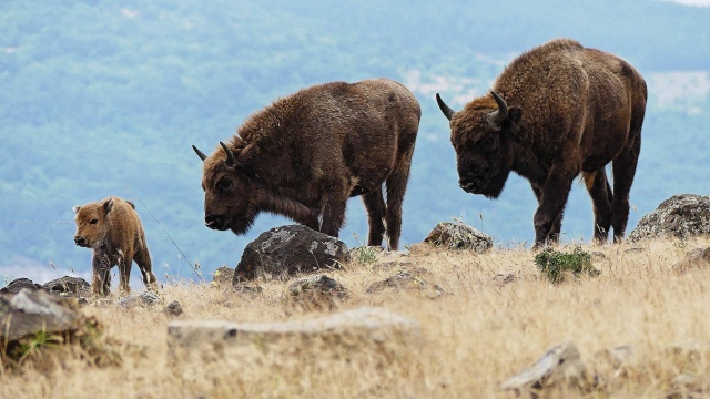 Bulgaria: Successful Restoration of the Population of the European Bison in the Eastern Rhodopes