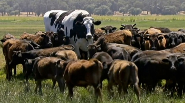 Giant cow Knickers isn't as big as 6ft 5ins Canadian steer Dozer