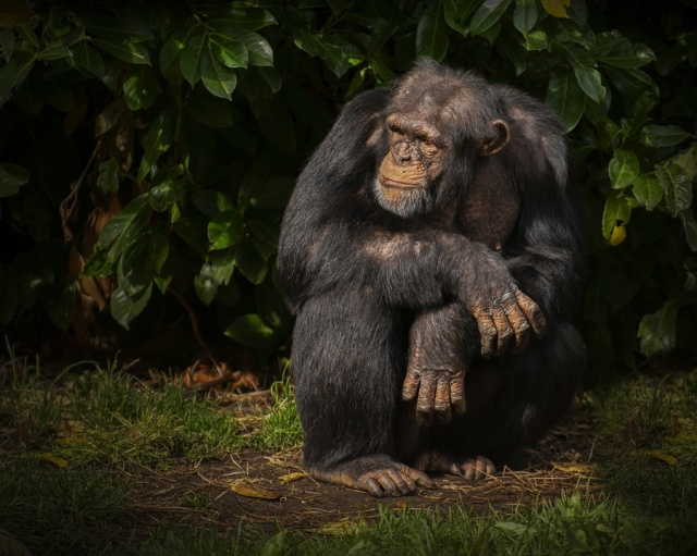 African Island Inhabited by Super Aggressive Chimps Released