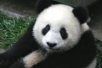 Child Fell in the Panda Cage in a Park in China