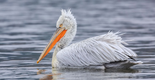Bulgaria: Increased Number of Dalmatian Pelicans in Srebarna Nature Reserve