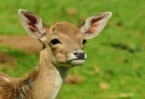 "Wounded Deer Found and Rescued in the Area ""Vitosha"""