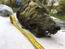Bulgaria: Preserved Head of a 40,000-year-old Wolf was Discovered in Siberia