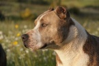 77-year-old Woman was Attacked and Bitten by a Pitbull in a Montana Village