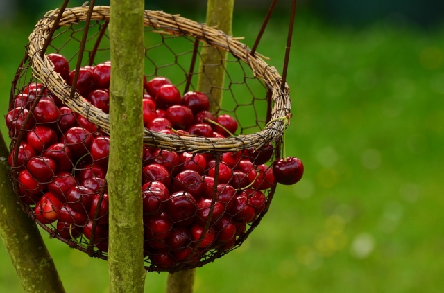 "Bulgaria: The ""Cherry Festival"" in the ""Fruit Garden of Bulgaria"" - Kyustendil Begins"