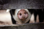 Greece Has Introduced Exceptional Protection Measures Against African Swine Fever